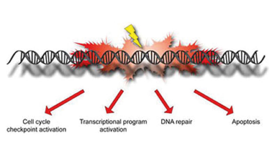 Responses to DNA damage